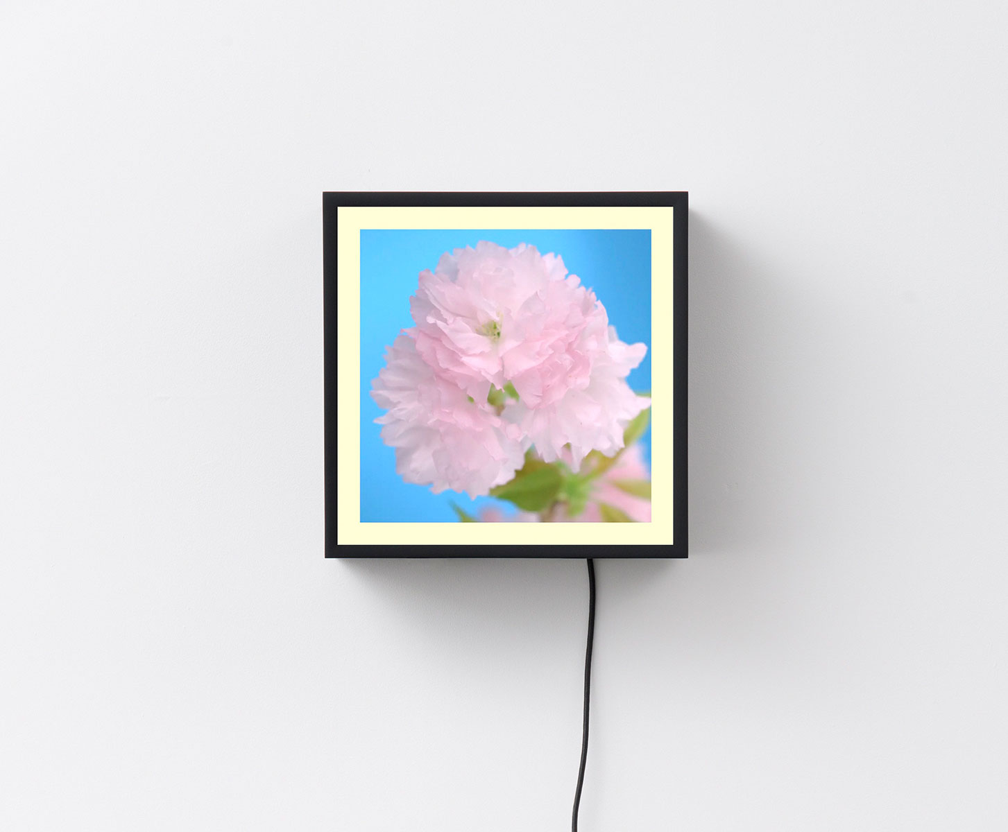 Owen Kydd. Cherry, 2015. Video on square digital display with media player.